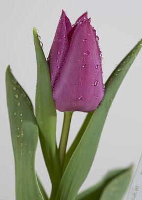 Violette Tulpe