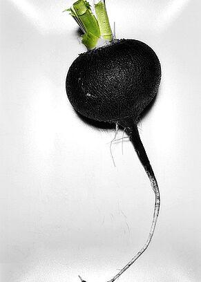 Eine Knolle schwarzer Rettich