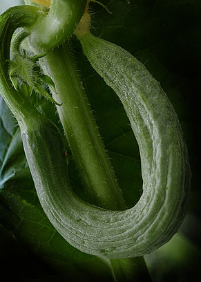 Schlangengurke