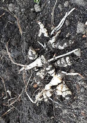 Knollenziest auf Erde, frisch ausgegraben